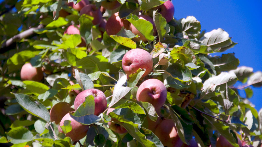 Visit Our Working Apple Orchard in Glenwood City, WI