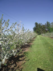 Blooming Apple Trees at Glenwood Orchard