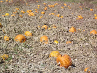 Pick Your Own Pumpkin at Glenwood Orchard