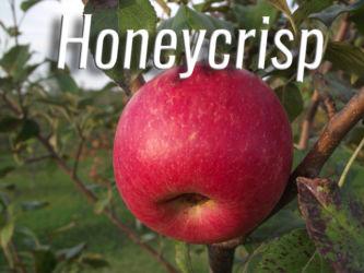 Honeycrisp Apples Available at Glenwood Orchard