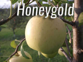 Honeygold Apples Available at Glenwood Orchard