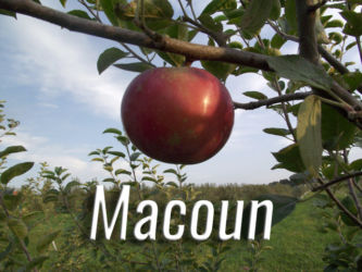 Macoun Apples Available at Glenwood Orchard