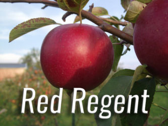 Red Regent Apples Available at Glenwood Orchard
