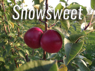 Snowsweet Apples Available at Glenwood Orchard