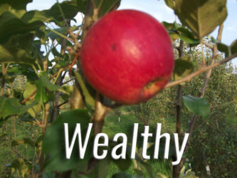 Wealthy Apples Available at Glenwood Orchard
