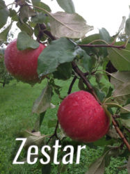 Zestar Apples Available at Glenwood Orchard